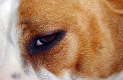 Eye of amstaff Royalty Free Stock Photography