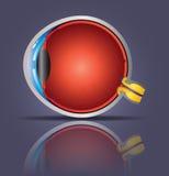 Eye anatomy stock photography