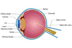Eye Anatomy Stock Photography