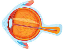 Eye anatomy Stock Photo