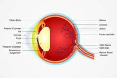 Eye Anatomy. Vector illustration of diagram of eye anatomy with label Royalty Free Stock Images