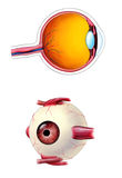Eye anatomy. Human eye interior and exterior anatomy. Mixed media illustration Stock Photos