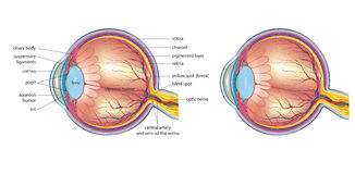 Eye anatomy Stock Images