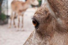 Eye animal. Orange eye animal- brown goat stock photography