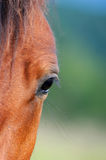 Eye of arabian bay horse Royalty Free Stock Images