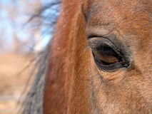 Eye of a Arabian Stallion. Close up of the eye of a arabian stallion Stock Photo