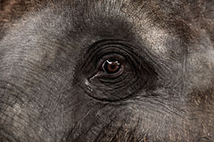 Eye of an asian elephant.  Royalty Free Stock Images