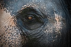 Eye of Asian Elephant Elephas maximus. Close Up View.  stock photography