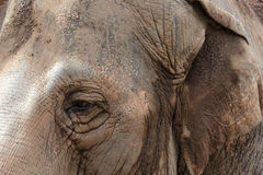 Eye of an asiatic elephant Stock Images