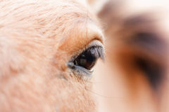 Eye of the bay horse Royalty Free Stock Image