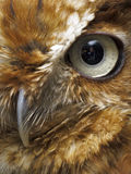 Eye and beak of brown owl. Close up of a brown owl's eye and beak royalty free stock images