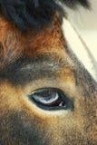 Eye of arabian gelding. The eye of beautiful arabian gelding. Clouse-up royalty free stock photo