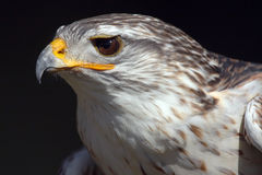 Eye Of The Beholder. Side profile of a stunning Ferruginous Hawk.  This closeup shows incredible detail against a natural dark background.  Wonderful catch light Royalty Free Stock Photos
