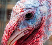 In the eye of the beholder... Close-up photo of the head of a turkey Stock Photos