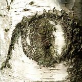 Eye in birch Stock Images