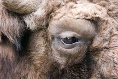 Eye of the bison. Close up Royalty Free Stock Photography
