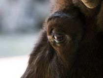 Eye of a bison close-up. The largest terrestrial animal in North America and Europe.  Stock Image
