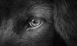 The eye. This is eye of the black dog Royalty Free Stock Photography