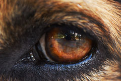 Eye of a black dog Royalty Free Stock Photo