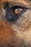 Eye of a black dog. Brown eye of a black dog Royalty Free Stock Image