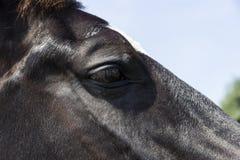 Eye of a black horse Stock Photography