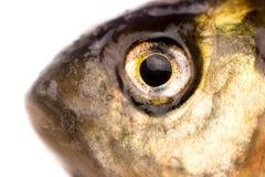 Eye of bream fish Stock Photography