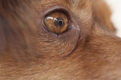 Eye of a brown dog. Eye closeu-up of a brown dog Stock Photos