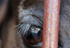 Eye of a brown horse close up Stock Image