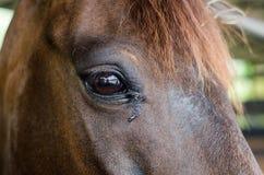 Eye of brown horse in farm Stock Photos