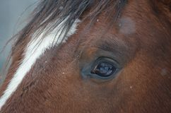 Eye brown horse Stock Photography