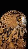 Golden eye of a brown owl Royalty Free Stock Image