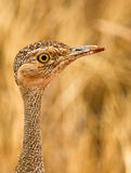 The eye of the Buff-crested Bustard Stock Image