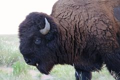 Eye of the Buffalo Stock Image
