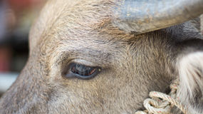 Eye buffalo. Textures and Background of Eye buffalo in Thailand Royalty Free Stock Images