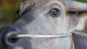 Eye buffalo. Textures and Background of Buffalo eye in Thailand Stock Photography