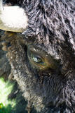 The Eye of the Bull. This was a close up of a bison bull in Yellowstone National Park. The fur and horn had excellent texture and contrast Stock Image