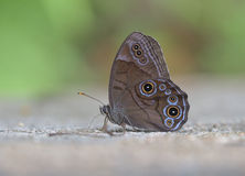 Eye butterfly 【Lethe diana (Butler) 】. In July, photographs the Chinese Zhejiang Province, the elevation 800 meters. The butterfly spreads the wings 55mm Stock Images