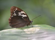 Eye butterfly (Penthema adelma Felder Stock Photography