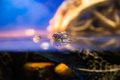 Eye of Caiman crocodilus in water in aquarium.  royalty free stock images