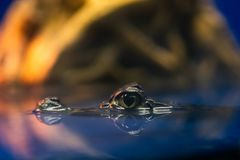 Eye of Caiman crocodilus in water in aquarium.  stock photo