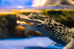 Fragment of body Caiman crocodilus in water in aquarium. Eye of Caiman crocodilus in water in aquarium stock photos