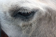 Eye of a camel. One animal in harness closeup Royalty Free Stock Image