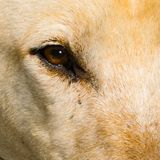 Eye of canine dog, closeup. Shot of the brown eye royalty free stock photos