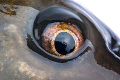 Eye carp Royalty Free Stock Image