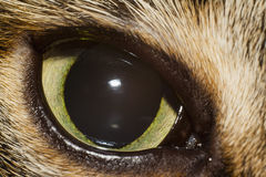 Eye of cat Royalty Free Stock Photography