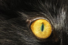 Eye Cat. Yellow Eye Cat Wild Feline Royalty Free Stock Photography