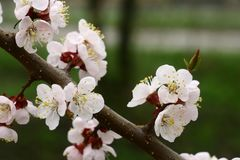 Flowering apricot in April. stock image