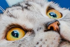 Eye close-up of American shorthair cats. This is a close-up of the eyes of an American shorthair .American shorthair is a kind of cat stock photo