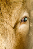 The eye. Close up of bull's eye Royalty Free Stock Image
