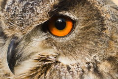 Eye close up eagle owl Stock Photos